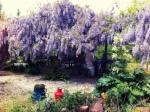 liliomkert lilaakác lugas 2