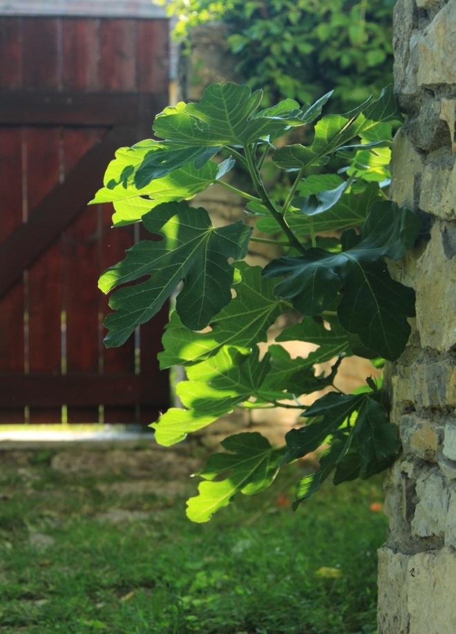 szögletes aranyhal nyári nap a kertben 019 füge